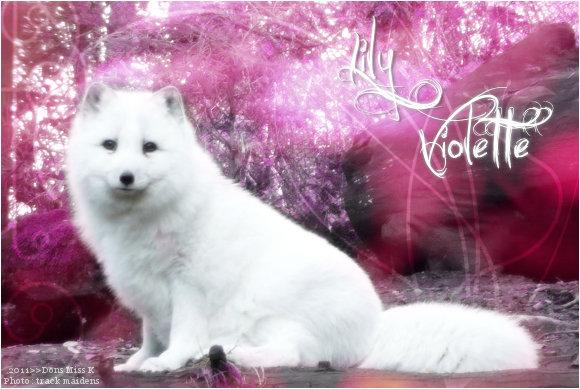 Lily Violette - Femelle - Renard Arctique - Jeune Lily_v10