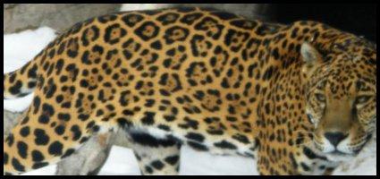 Shirah - Femelle - Jaguar - Adulte Shirah10