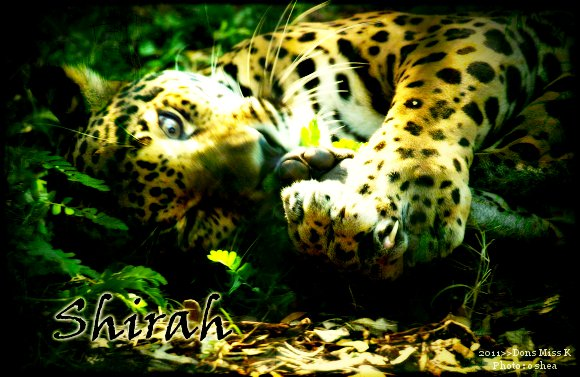 Shirah, le Jaguar Shirah11