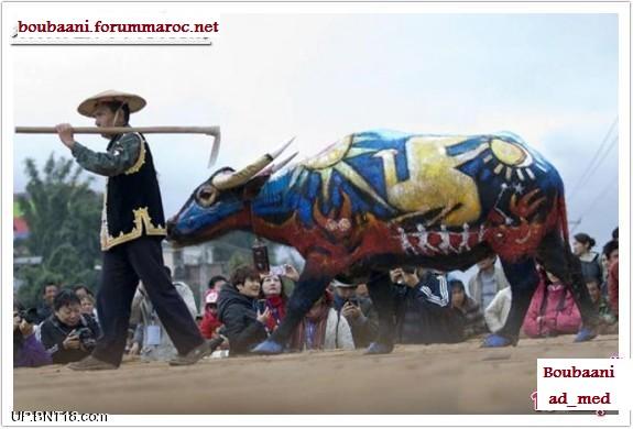 مهرجان الرسم على أجسام الثيران Ousoou15