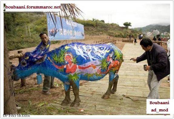 مهرجان الرسم على أجسام الثيران Ousoou17