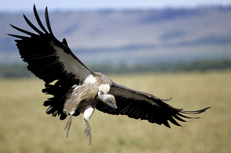 Quale è l'uccello più grande che abbia mai volato??? Avvolt10
