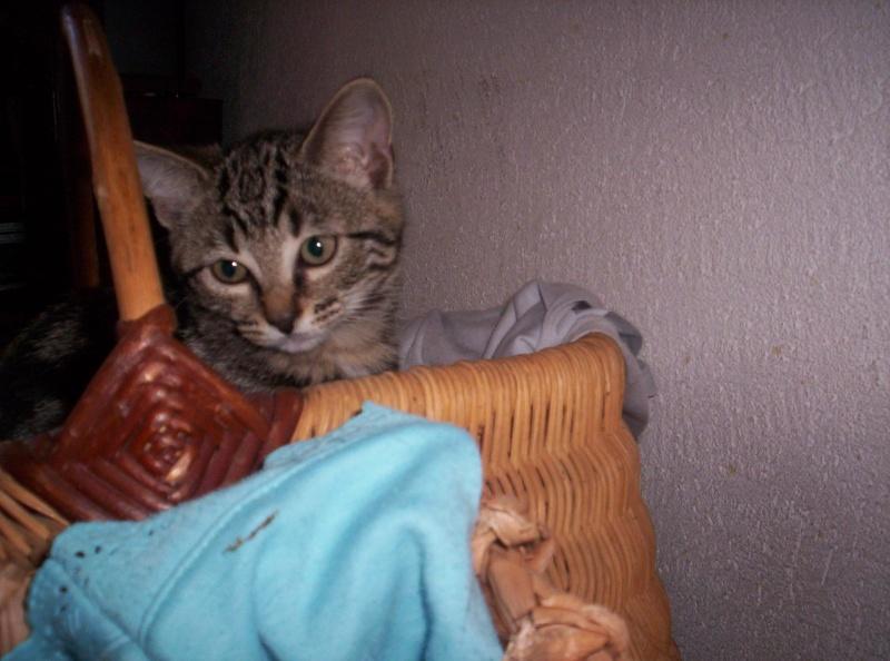 6 chatons de 2mois a adopter Chaton11