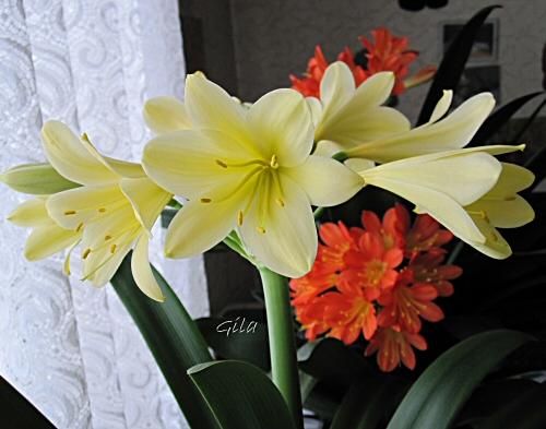amaryllisgew chse amaryllidaceae ohne hippeastrum. Black Bedroom Furniture Sets. Home Design Ideas