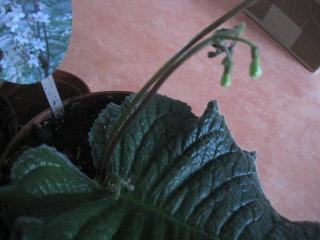 streptocarpus a grande feuille unique Photo_45