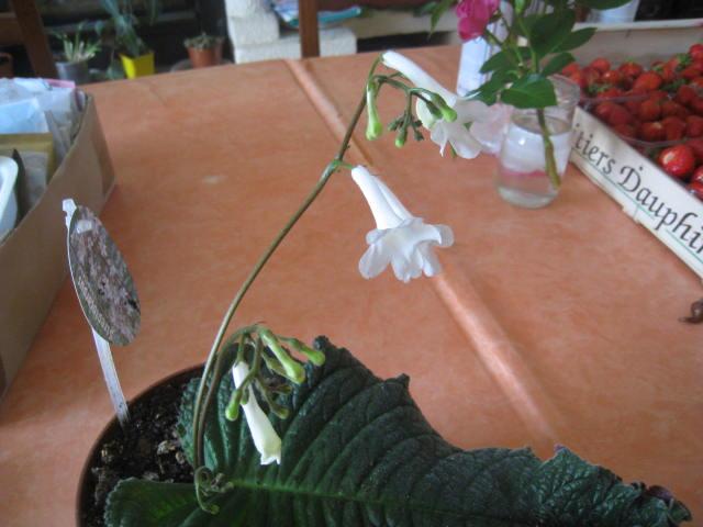 streptocarpus a grande feuille unique Photo_47