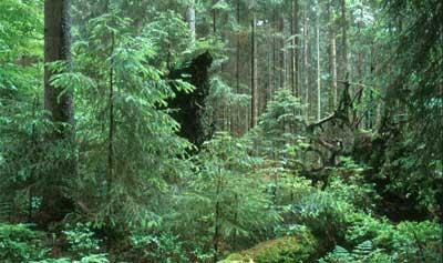 Der Wald Waldwi10