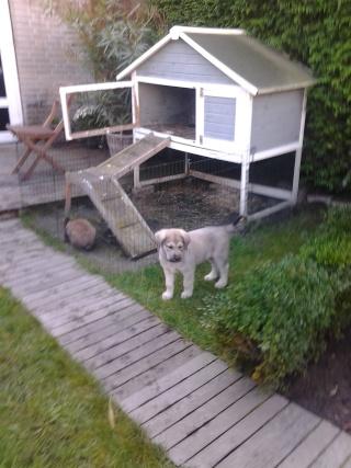 Marie vous pesente puppy Patou Foto0111