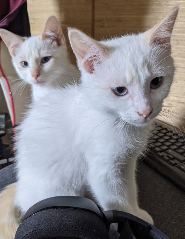 Nos chats à l'adoption 31110