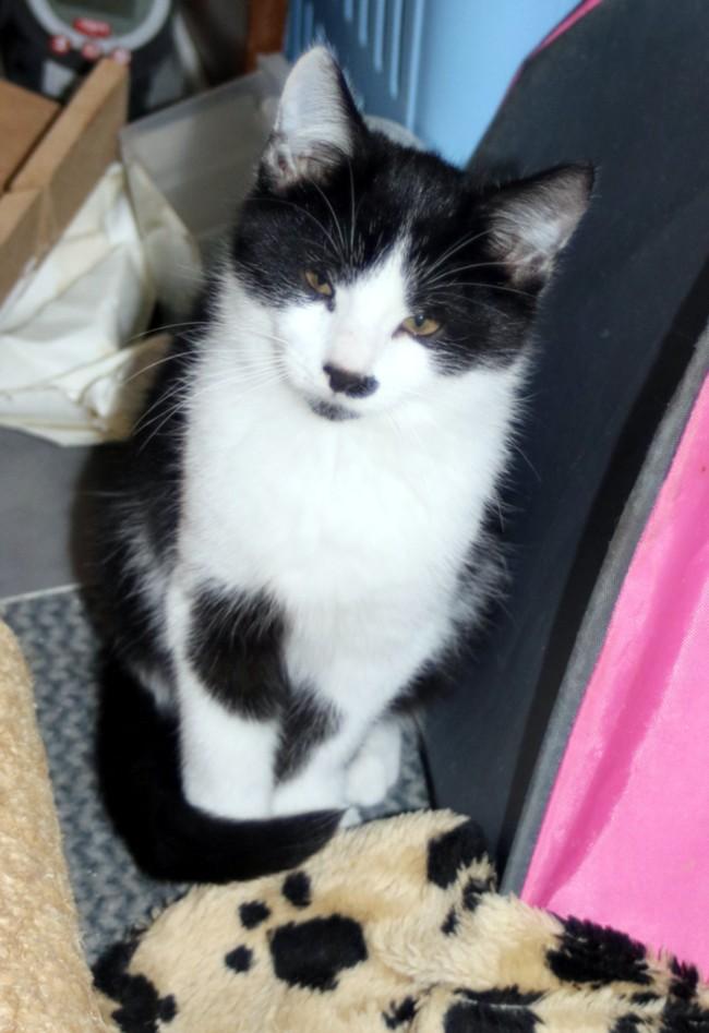 Nos chats à l'adoption Copi1010