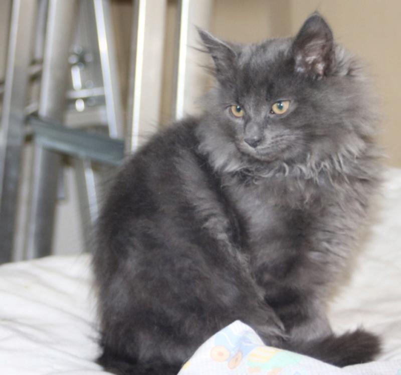 Nos chats à l'adoption Copi1012