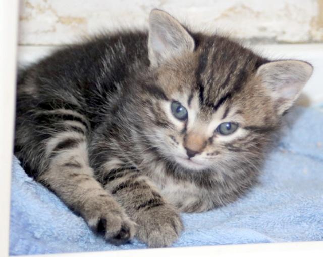 Nos chats à l'adoption Copi1215