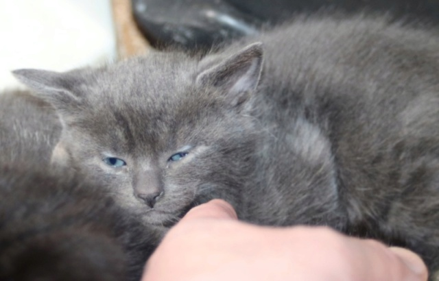 Nos chats à l'adoption Copi1216