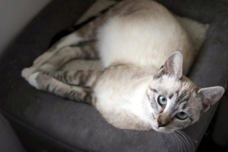 Nos chats à l'adoption Copi1612