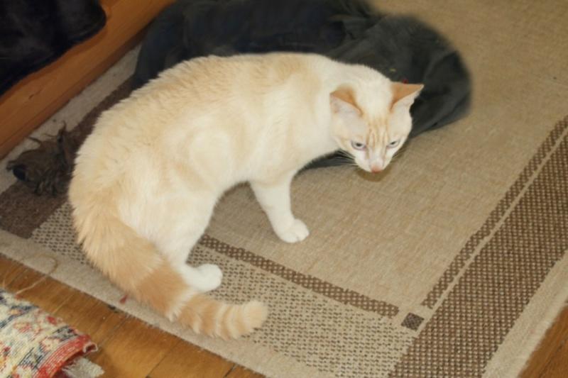 Nos chats à l'adoption Copi1810