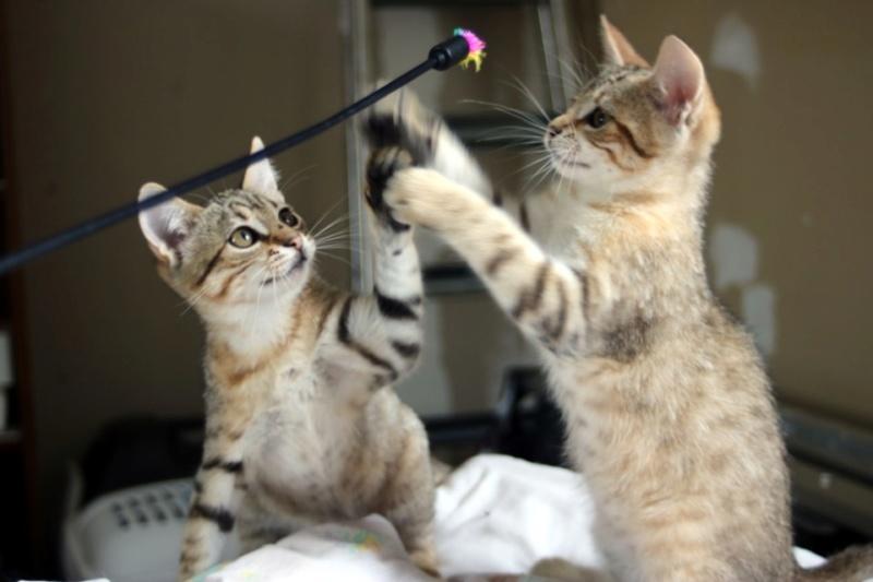 Nos chats à l'adoption Copie710