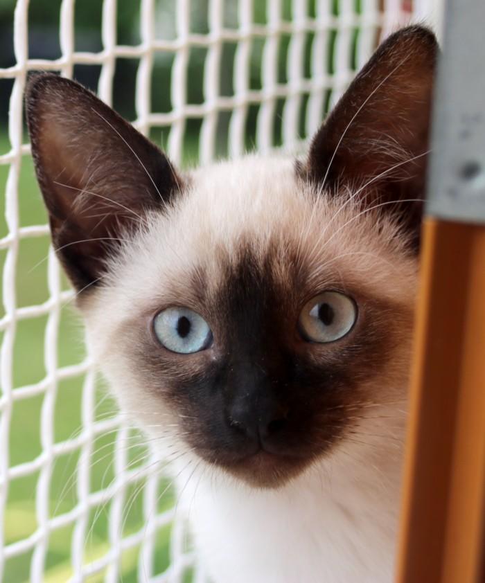 Nos chats à l'adoption Copie711