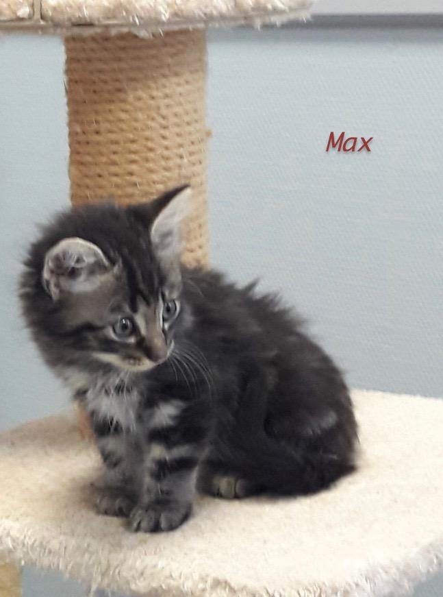 Nos chats à l'adoption Max1010