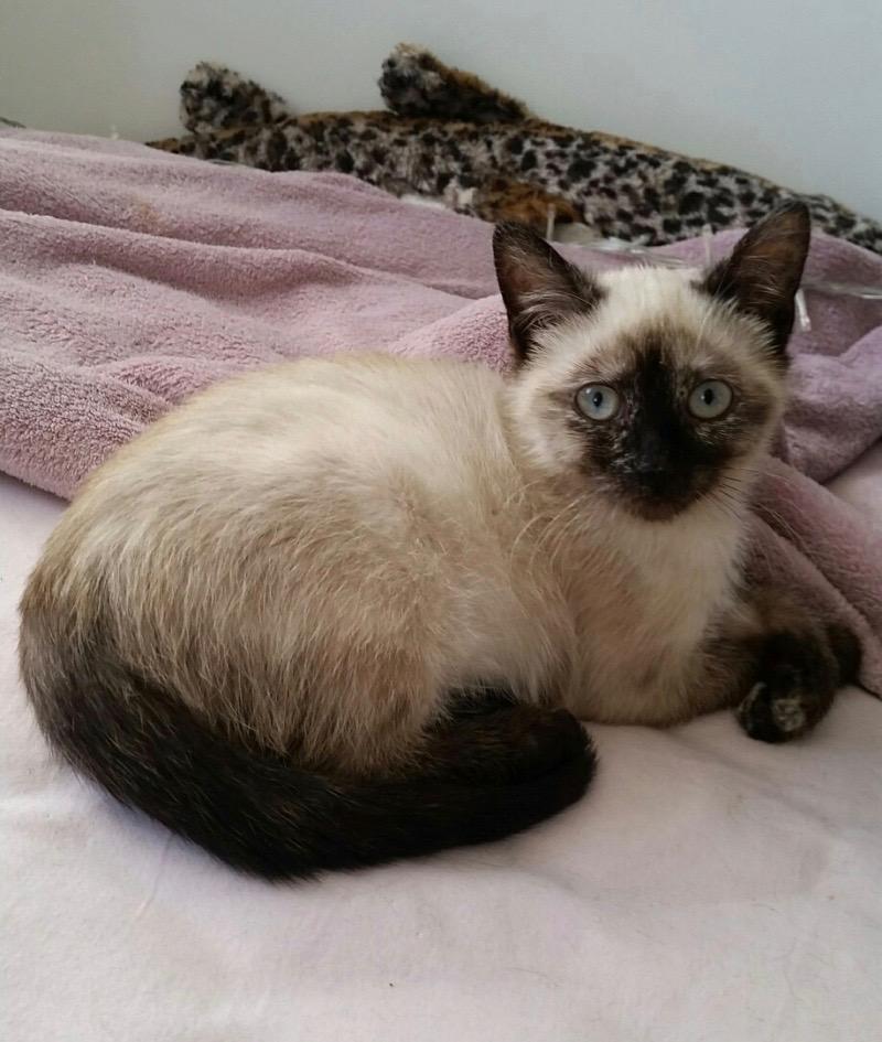 Nos chats à l'adoption Pimper11