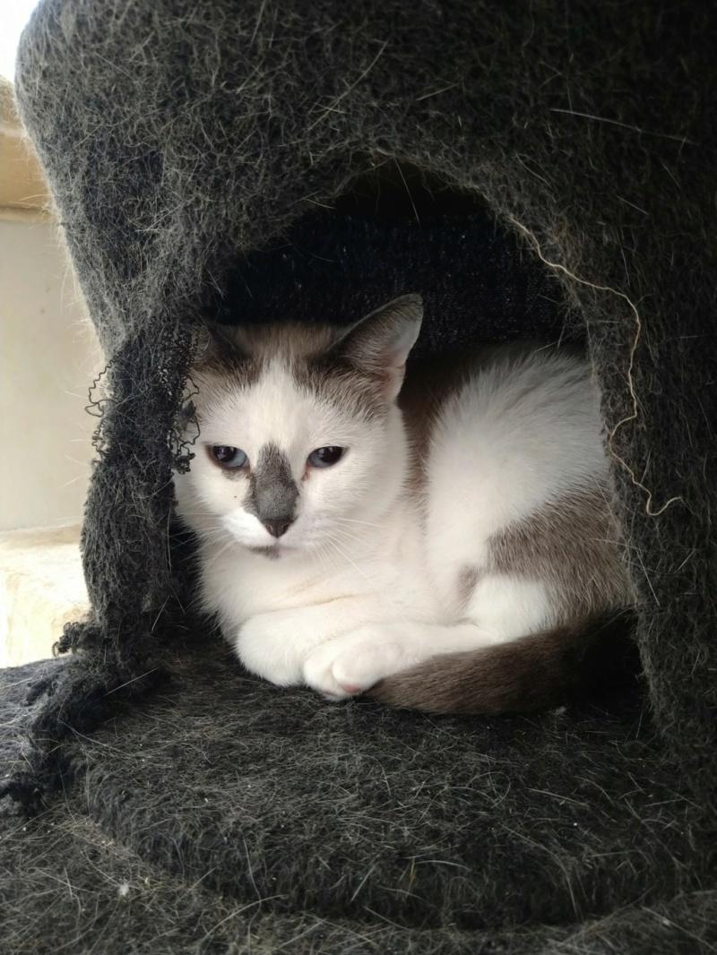 Nos chats à l'adoption Pixie110
