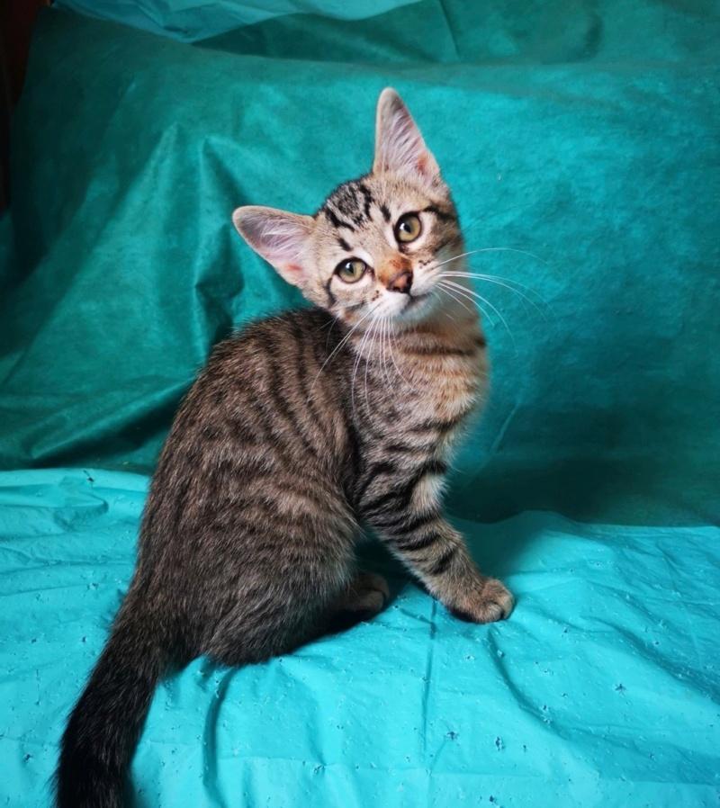 Nos chats à l'adoption Satis110