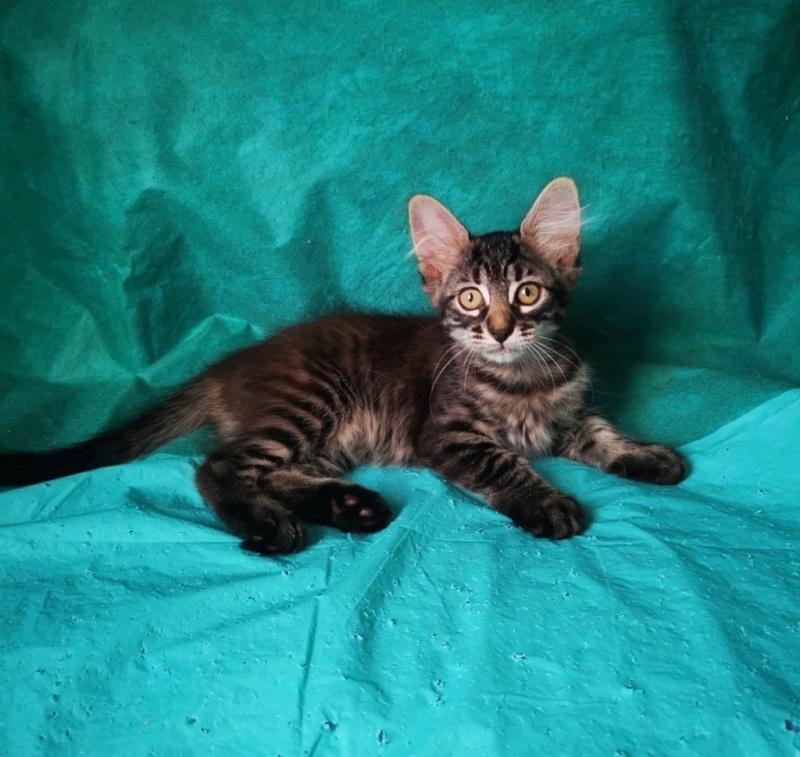 Nos chats à l'adoption Sekhme10