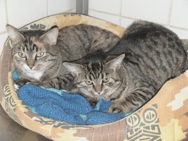 2 nouvelles chattes à adopter Belind11
