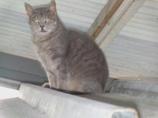 disparition de la chatte VANILLE Vanill15