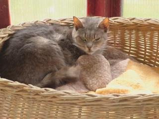 disparition de la chatte VANILLE Vanill17