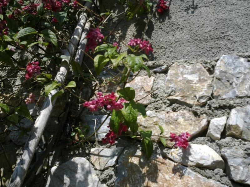 Clerodendrum splendens 16032012