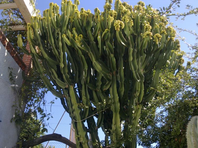 Euphorbia Ingens et Euphorbia candelabrum 25022011