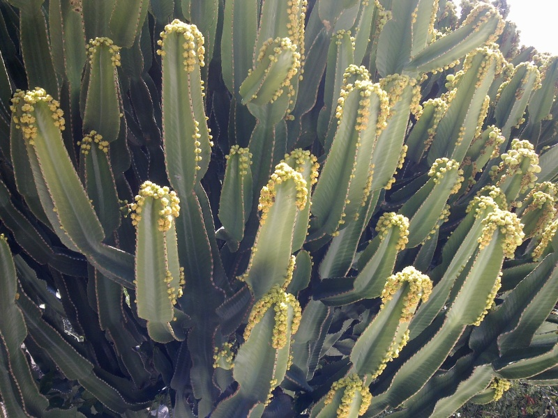 Euphorbia Ingens et Euphorbia candelabrum 25022012