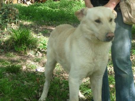 CARPETTE labrador blanc 1 an au refuge de Saintes 17100 Carpet10