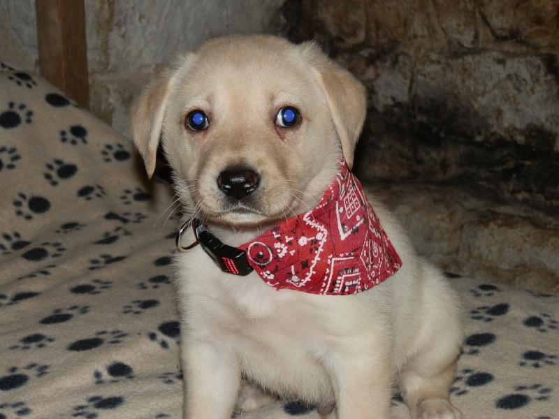 GOUMY type labrador sable 3 mois a adopter association GALIA (85) Goumy211