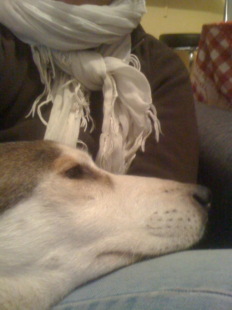 Link Berger X Husky mâle 5 ans gris et blanc PAR:38 ADOPTE Img_0610
