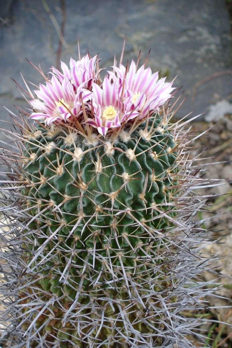 Echinofossulocactus lamellosus Echino12