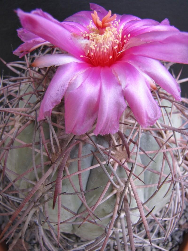 Echinocactus horizonthalonius Img_1711