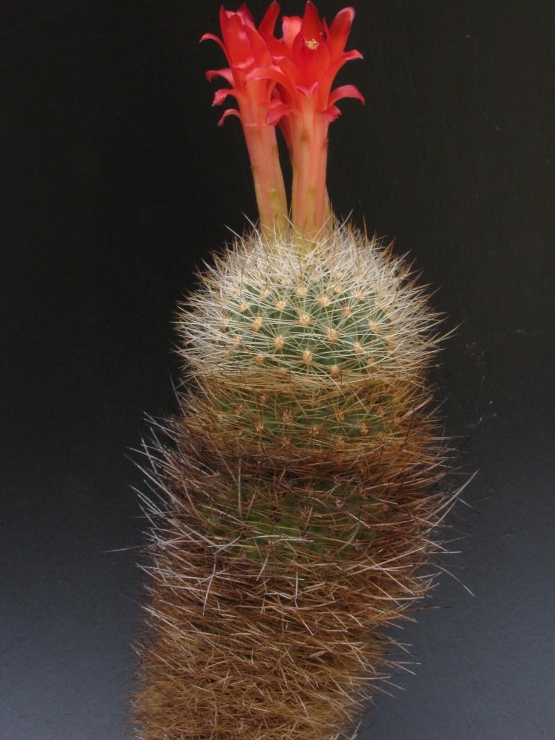 Matucana multicolor ssp. armillata Matuca10