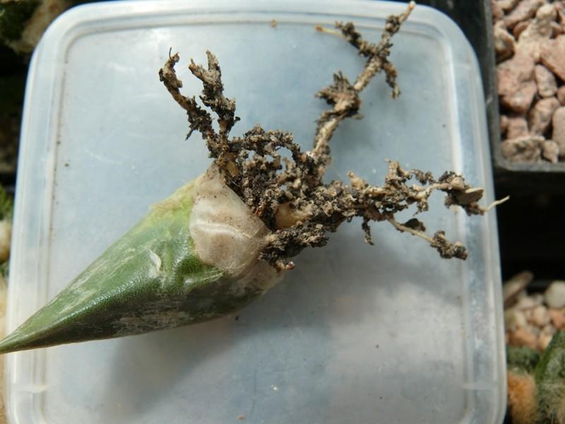 Vegetative Vermehrung von Ariocarpus - Seite 2 20_04_18