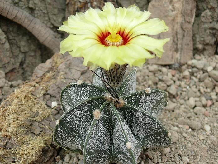 Astrophytum capricorne ssp. minor  Astro_27