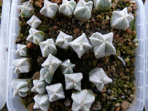 Aussaat Astrophytum myriostygma (bemerkenswert ) Astro_33