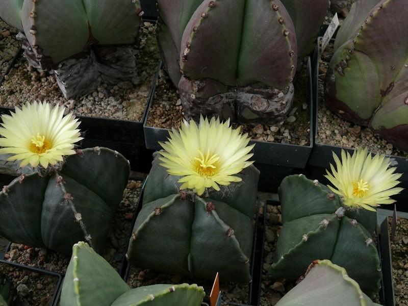 Astrophytum myriostigma var. quadricostatum Astro_39