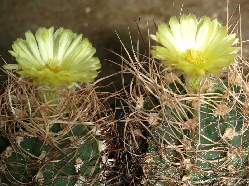 Astrophytum Kultivar Krausii Astro_40