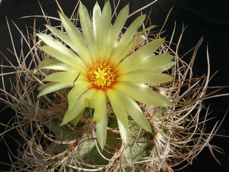 Astrophytum capricorne var. crassispinum Astro_43