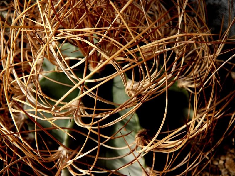 Astrophytum capricorne var. aureum Astro_46