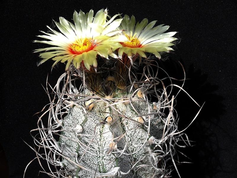 Astrophytum capricorne var. capricorne Astro_47