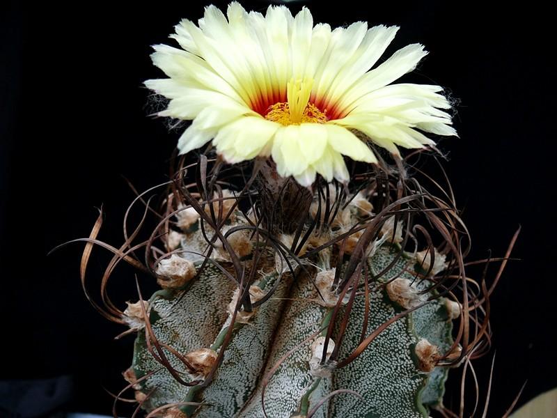 Astrophytum capricorne var. capricorne Astro_48