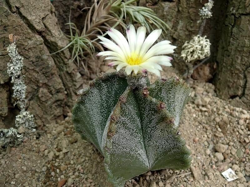Astrophytum myriostigma var. myriostigma Astro_52