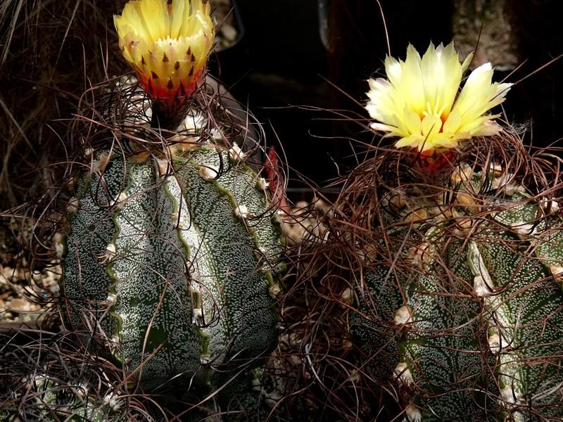 Astrophytum capricorne var. capricorne Astro_54