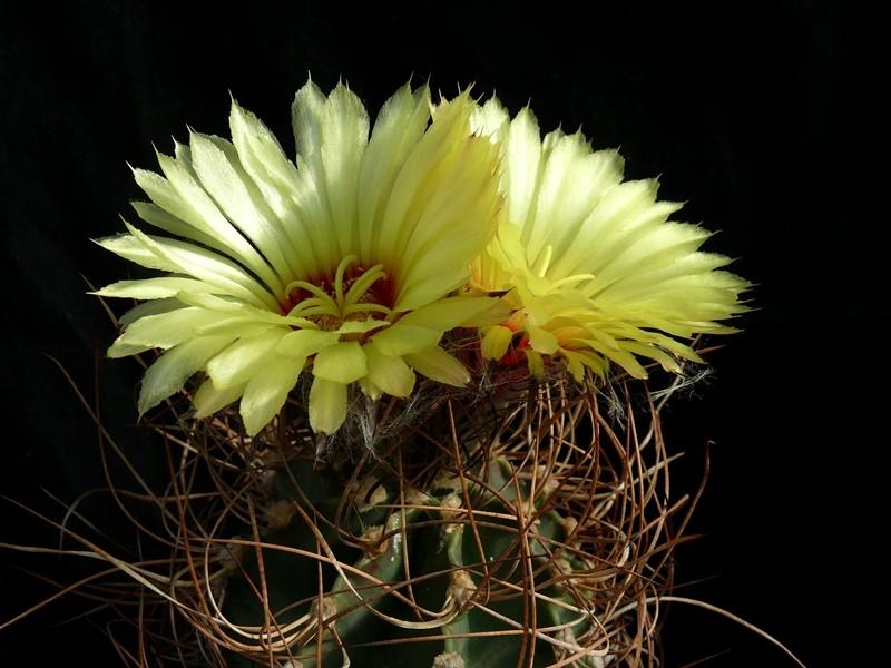 Astrophytum capricorne var. aureum Astro_58